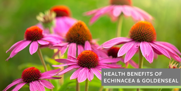Health Benefits of Echinacea & Goldenseal